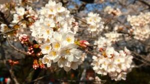 Cherry blossoms in Koganei Park